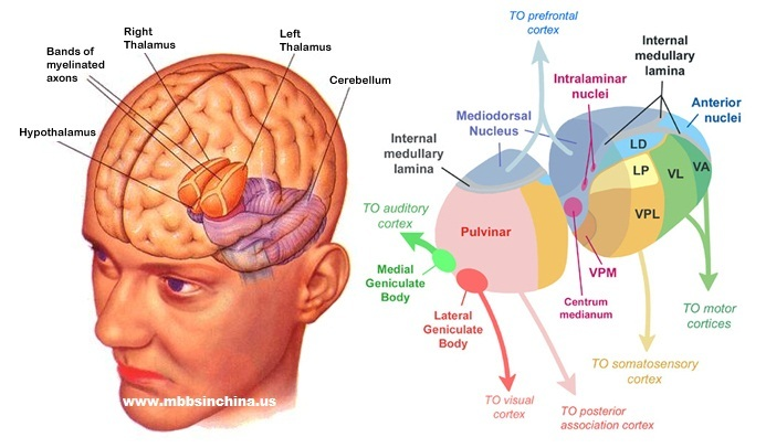 Visualization of the thalamus from Dr. G Bhanu Prakash. The person doesn't look very happy...